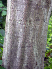 trunk of an american hornbeam tree from arboradvisor of colorado