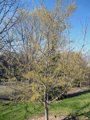 juvenile american hornbeam tree from arboradvisor of colorado
