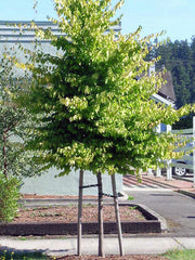 juvenile american hornbeam tree in summer from arboradvisor of colorado