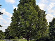 american sentry linden tree from arboradvisor of colorado