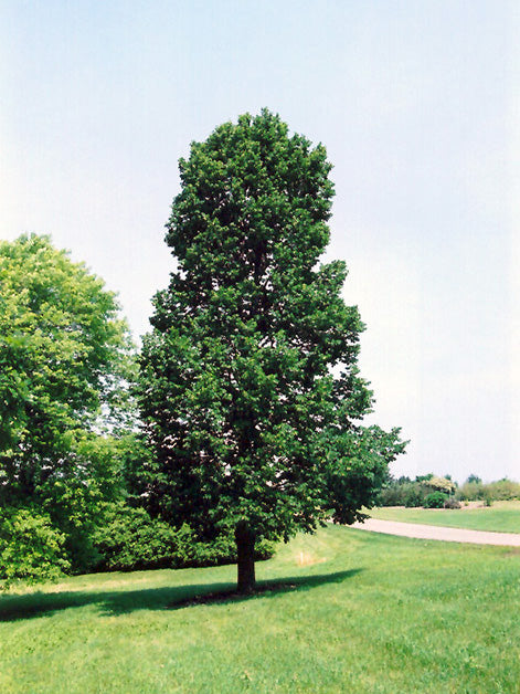 american sentry linden tree in a park from arboradvisor of colorado