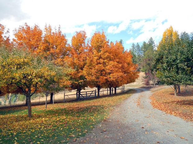 cluster of american sentry linden trees in the fall from arboradvisor of colorado