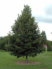 american sentry linden tree in lawn from arboradvisor of colorado