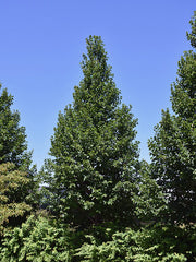 group of american sentry linden trees from arboradvisor of colorado
