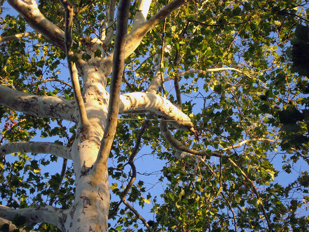 under the canopy of an american sycamore tree from arboradvisor of colorado