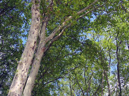 under the shade of an american sycamore tree from arboradvisor of colorado