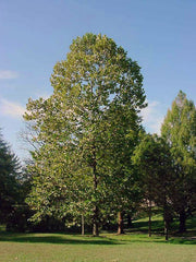 an american sycamore tree in a park from arboradvisor of colorado