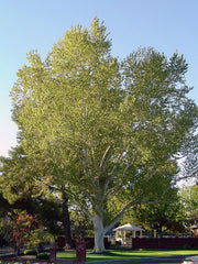 american sycamore tree from arboradvisor of colorado