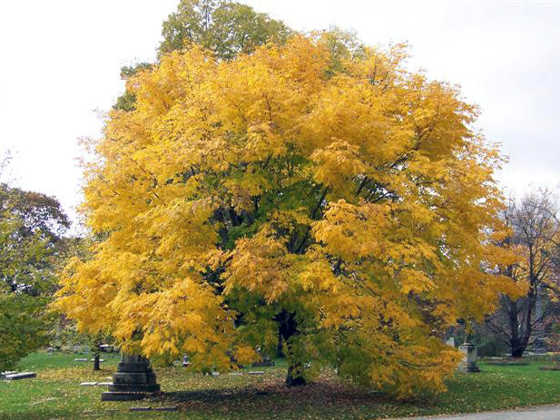 american yellowwood tree in the fall from arboradvisor of colorado