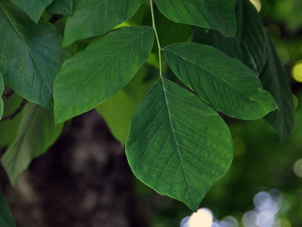leaves of an american yellowwood tree in the summer from arboradvisor of colorado