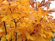 leaves of an american yellowwood tree in the fall from arboradvisor of colorado