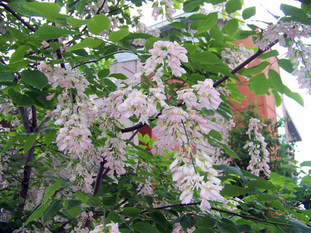 flowers on an american yellowwood tree in spring from arboradvisor of colorado