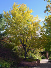 american yellowwood tree turning from green to yellow from arboradvisor of colorado
