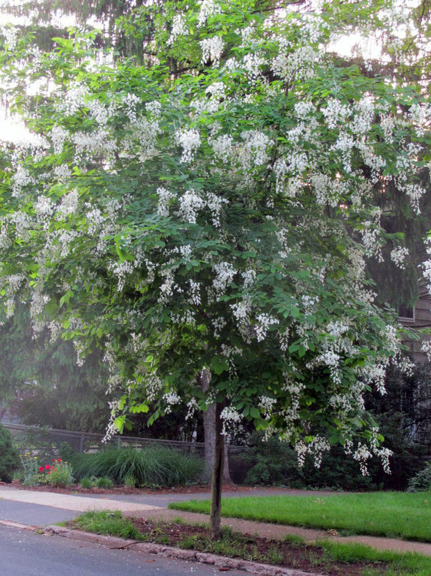 flowering american yellowwood tree from arboradvisor of colorado