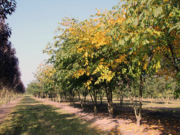 row of american yellowwood trees at a nursery from arboradvisor of colorado