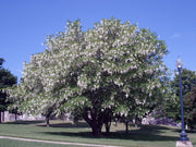 american yellowwood tree in the spring from arboradvisor of colorado