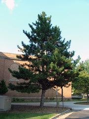austrian pine tree from arboradvisor of colorado