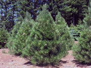 cluster of austrian pine trees at a nursery from arboradvisor of colorado