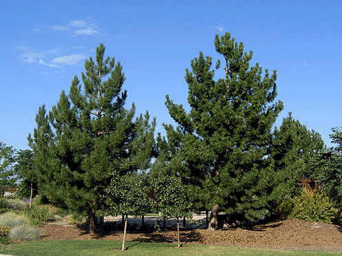 cluster of austrian pine trees in a park from arboradvisor of colorado