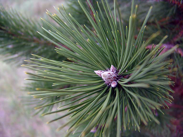 detail of cone and needles of an austrian pine tree from arboradvisor of colorado