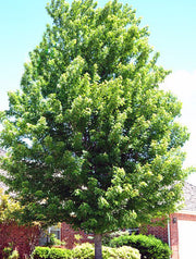 autumn blaze maple tree in the summer from arboradvisor of colorado
