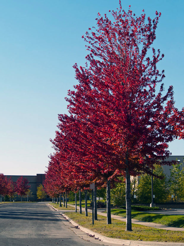 row of autumn blaze maple trees in the fall from arboradvisor of colorado