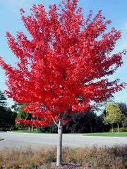 juvenile autumn blaze maple tree in the fall from arboradvisor of colorado