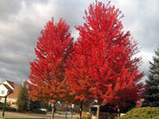 cluster of autumn blaze maple trees in the fall from arboradvisor of colorado
