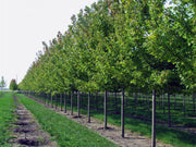 row of autumn blaze maple trees at a nursery from arboradvisor of colorado
