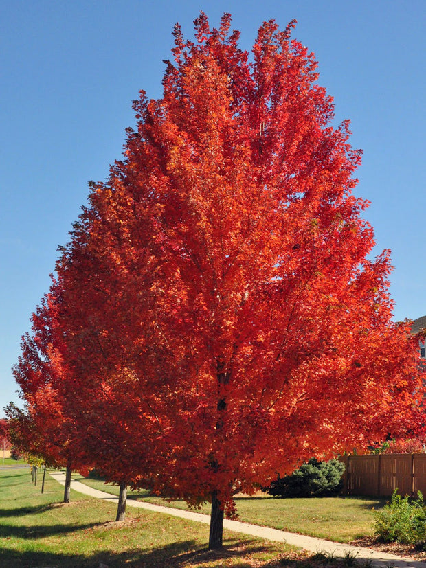 autumn blaze maple tree in the fall from arboradvisor of colorado