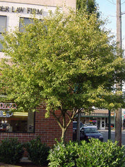 autumn brilliance serviceberry tree in summer from arboradvisor of colorado