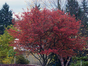 autumn brilliance serviceberry tree in the fall from arboradvisor of colorado