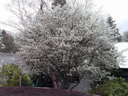 flowering autumn brilliance serviceberry tree from arboradvisor of colorado
