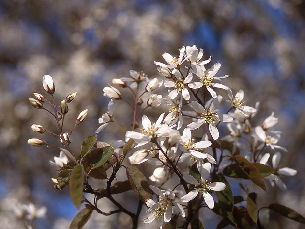 small white flowers on an autumn brilliance serviceberry tree from arboradvisor of colorado