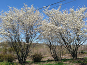 group of flowering autumn brilliance serviceberry trees from arboradvisor of colorado