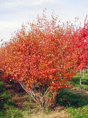 autumn brilliance serviceberry tree in fall from arboradvisor of colorado