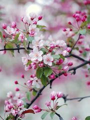 soft pink flowers of a bing cherry tree from arboradvisor of colorado