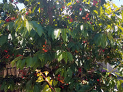 cherries ripening on a bing cherry tree from arboradvisor of colorado