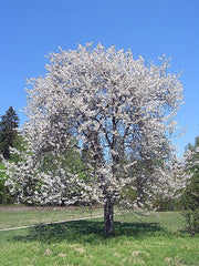 flowering bing cherry tree from arboradvisor of colorado