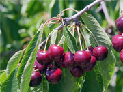 leaves and fruit on a bing cherry tree from arboradvisor of colorado