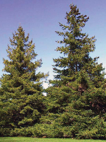 mature black hills spruce trees from arboradvisor of colorado