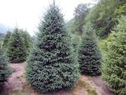 cluster of black hills spruce trees from arboradvisor of colorado