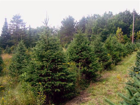 row of black hills spruce trees from arboradvisor of colorado