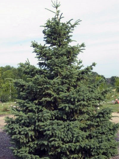black hills spruce tree from arboradvisor of colorado