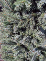needles of a black hills spruce tree from arboradvisor of colorado