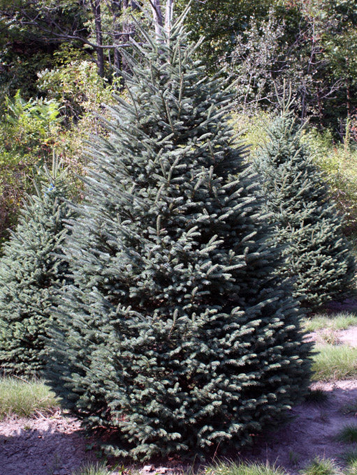 black hills spruce trees from arboradvisor of colorado