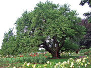 mature black tartarian cherry tree in summer from arboradvisor of colorado