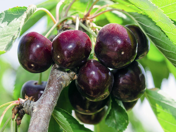 leaves and fruit on a black tartarian cherry tree from arboradvisor of colorado
