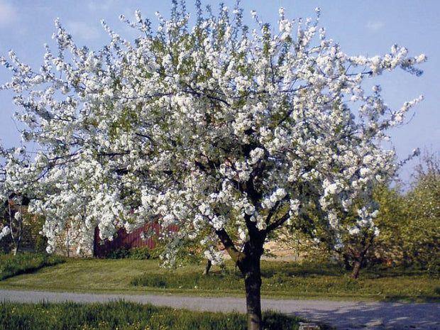 black tartarian cherry tree in spring from arboradvisor of colorado