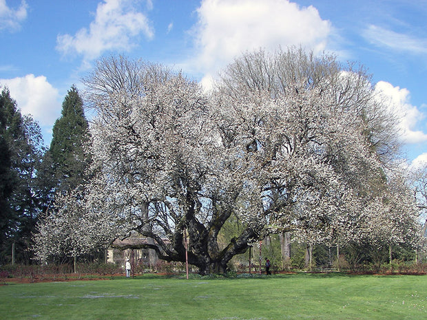flowering black tartarian cherry tree from arboradvisor of colorado